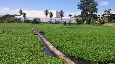 Sumida Farm watercress beds